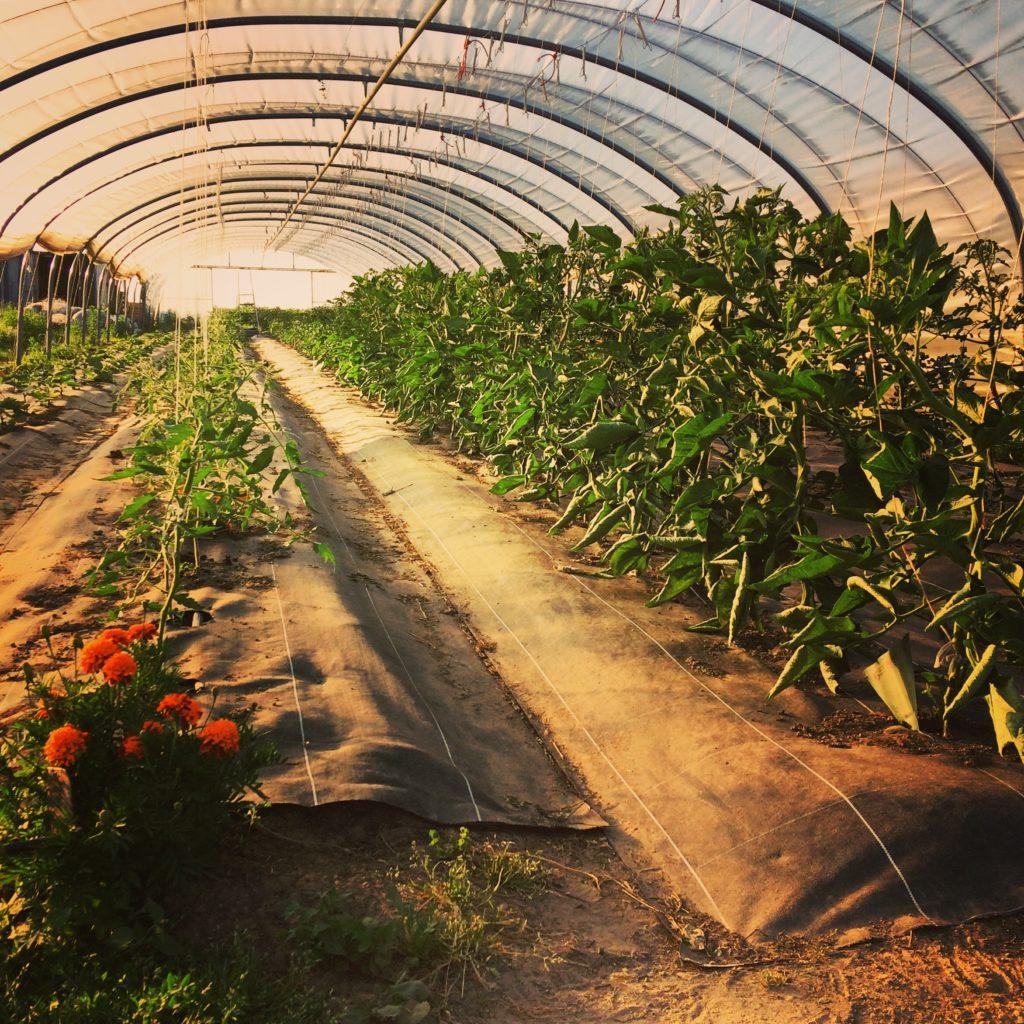 vlinderveld, csa, bio, biologisch, zelfoogst, losse verkoop, veld verkoop, groentenpakket, zemst, mechelen, hofstade, hombeek, eppegem, weerde, laar, leest, coloma, muizen